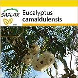 SAFLAX - Set de cultivo - Eucalipto rojo - 200 semillas - Eucalyptus camaldulensis