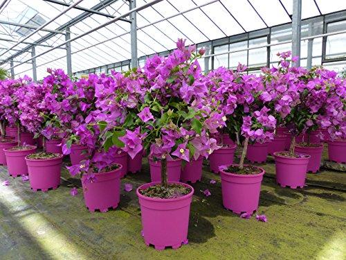 Bougainvillea glabra Alexandra auf Stamm 40-60 cm, purpurviolett, Kletterpflanze