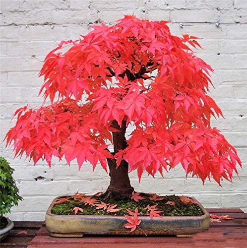 AUTFIT acero 20 semi acero rosso giapponese semi per bonsai, balcone, giardino (Acer palmatum Thunb)