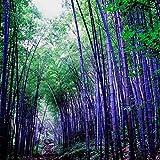 Sconosciuto Ragdoll50 nero semi di bambù viola gigante impianto di legname Phyllostachys semi-Moso bambù, 50pcs formato libero come esposizione dell'immagine