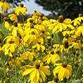 Blumixx Stauden Rudbeckia nitida 'Herbstsonne' - Fallschirm-Sonnenhut, im 1,0 Liter Topf, zitronengelb blühend von Blumixx Stauden auf Du und dein Garten