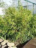 Fargesia Rufa 100-130cm Bambus 5-10 Halme