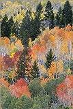 Posterlounge Alu Dibond 120 x 180 cm: Espen Bäume im Herbst von Jamie & Judy Wild/Danita Delimont