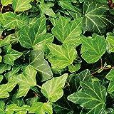Efeu - Hedera Helix - Efeuranke als Sichtschutz oder Bodendecker - Kletterpflanze für Garten, Teich und Vorgarten - Efeublätter winterfest und immergrün - Pflanzen in Top Qualität von Garten