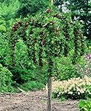 Stachelbeer-Stamm Hinnonmäki® rot. 1 Pflanze - zu dem Artikel bekommen Sie gratis ein Paar Handschuhe für die Gartenarbeit dazu