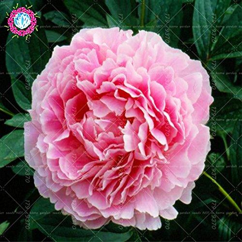 Fiore nazionale cinese 5 Pz Peony Semi Pianta in vaso Peonia Suffruticosa Albero Terrazza Cortile Light Up Your Garden personali