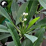 Kaufen Plumeria Rubra Baumsamen 30pcs Pflanze Yolk Blume für Ei-Blumen