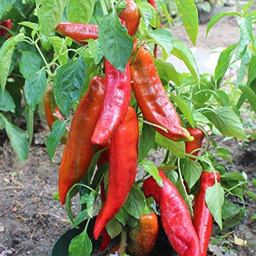 10 Samen Corno di Toro rosso Paprika – italienische Sorte, ertragreich