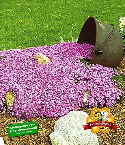 Produkt-Bild: BALDUR-Garten Teppichphlox 'Emerald Pink',winterharter Bodendecker 3 Pflanzen