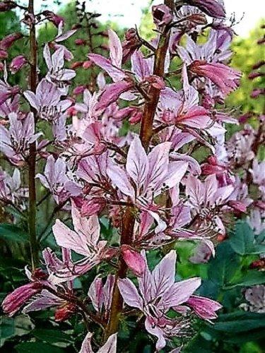10 Rouge au gaz pour plantes parfumées Fire Plante Fraxinelle Albus Joint d'Semences