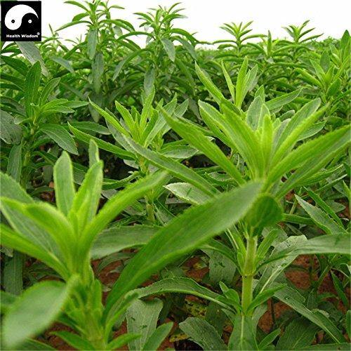 Chinese Green Stevia Samen Bio-Kräuter-Bonsain Samen Garten Zuckerfabriken Sementes null Kalorien natürlicher Süßstoff Tian Ye Ju (Kalorien-süßstoff)