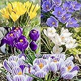 Woodland bulbs® 50 x Crocus Bulbs (Large Flowering Mixed) Spring Flowering Bulbs