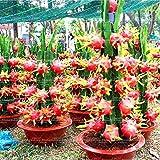 Shopmeeko 50 stücke Bonsai Gragon obstpflanze Zwerg Obstbäume Bonsai Bio Gemüse Gesunde Und Nahrhafte Lebensmittel Obst Zwerg Pflanze Für G