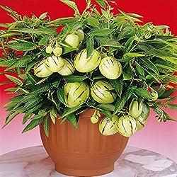 Melonenbirne Pepino - 1 pflanze