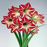 Hippeastrum Amaryllis Minerva - 1 bulbe de fleur
