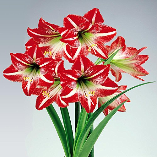 Amaryllis Minerva - 1 bulbe de fleur