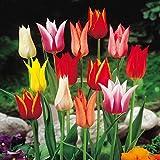 Lilienblütige Tulpenmischung - 50 blumenzwiebeln