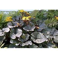 Pinkdose Ligularia Othello ( 2 divisions ) Perennial, Add Statement to Your Garden