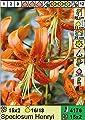 Lilium speciosum Henryi - Wildlilie / Riesen-Türkenbund von Aquaritstik-Garten de bei Du und dein Garten