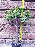 Crassula portulacea 30 cm, cactus, pianta grassa