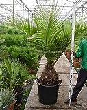 Seltene Jubaea chilensis - Honigpalme - verschiedene Größen (Stammhöhe 30-40cm - PotØ 55cm/65 Ltr.)