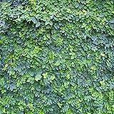 Kletter-Ficus 10 Samen (Ficus pumila)
