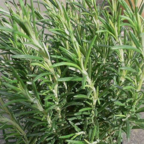 Grüner Garten Shop Rosmarin Rosmarinus officinalis, Zier- und Gewürzpflanze, 2 Pflanzen, je im 9 cm Topf