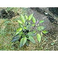Portal Cool 10 Semillas/Semillas de chile Negro de oliva