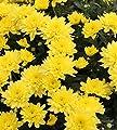 Herbstaster Citrus - Chrysanthemum hortorum von Baumschulen auf Du und dein Garten