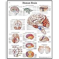 3B Scientific Human Anatomy - Human Brain Chart, Paper Version
