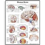 3B Wissenschaftliche Lehrtafel zum Menschlichen Gehirn (in englischer Sprache), unlaminated