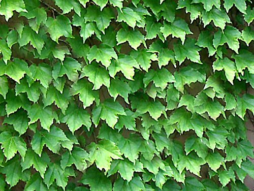 Tricuspidée/JAPONAIS CREEPER Parthenocissus tricuspidata 5 graines