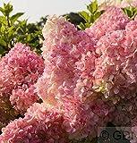 Rispenhortensie Vanille Fraise® 60-80cm - Hydrangea paniculata