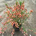 Cytisus scoparius 'Andreanus Splendens' - (Ginster- Edelginster 'Andreanus Splendens')- Containerware 40-60 cm von Pflanzen-Discounter24.de auf Du und dein Garten