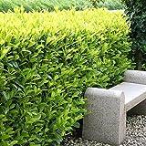 Kirschlorbeer Hecke Caucasica - 5 heckenpflanzen