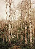 Kunstdruck/Poster: Emilio Sanchez Perrier Winter in Andalusien. Birkenwald mit Einer Herde in Alcalá de Guadaira - Hochwertiger Druck, Bild, Kunstposter, 70x95 cm
