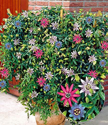 AIMADO Samen-100 Pcs Passionsblumen-Trio \'Exotic Flowers\' Blumensamen Sommer Blumen mehrjährig,exotische pflanzen samen Pflegeaufwand gering,pflegeleichte Kletterpflanze geeignet für Balkon & Terrasse