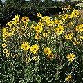 Stauden Sonnenblume Monarch - Helianthus atrorubens von Baumschulen auf Du und dein Garten