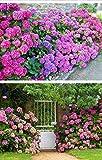UPSTONE Garten - Südafrika Geranie Samen PelargoniumPelargonieals Rabatte-, Beet-, Topf-, Balkon- oder Kübelpflanze mehrjährig winterhart (100, Rosa)