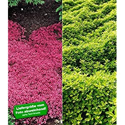 BALDUR-GartenBodendecker Thymian-Kollektion rot und grün 6 Pflanzen winterhart