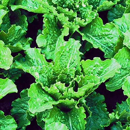 Crisp Mint Romaine Lettuce Seeds (Lactuca sativa) 30+ Rare Vegetable Seeds + FREE Bonus 6 Variety Seed Pack - a $29.95 Value! Packed in FROZEN SEED CAPSULES for Growing Seeds Now or Saving Seeds (Romaine Lettuce Seeds)