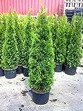 10 Pflanzen Thuja occidentalis Smaragd Kräftige Jungbäume Gesamthöhe 70-90 cm.