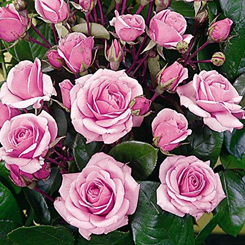 BCM Blüten verströmen einen dezenten Duft in ihrem Umfeld