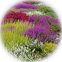 Heather Collection - Pack of 12 - Winter Hardy Evergreen Plants in Bud