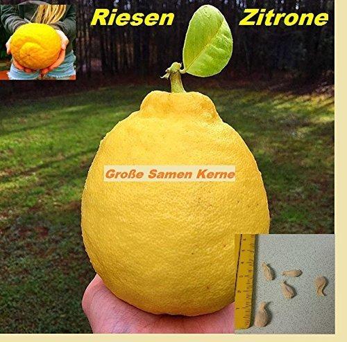 5x-tamano-limones-fruta-semillas-nuevo-jardin-plantas-habitacion-gigantesco-limones-arbol-241