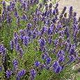 ISSOPO 200 SEMI attrae insetti utili protez cavoli Hissop pianta erba aromatica