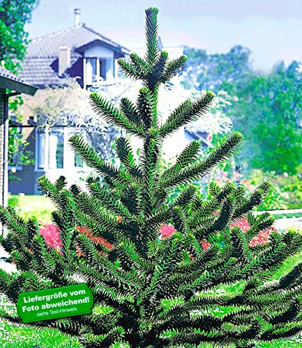 BALDUR-Garten Affenschwanz-Baum, Chilenische Schmucktanne, Affenbaum, Affenschaukel, Andentanne, 1 Pflanze (Affenschwanz)
