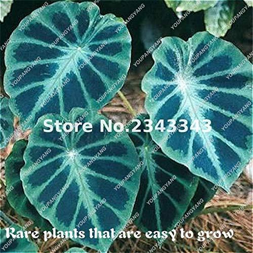 ShopMeeko Seeds:100pcs Blue Alocasia Macrorrhiza Bonsai Giant Elephant Ear Taro Bonsai Garden...