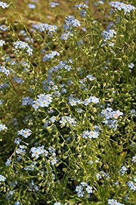 Wasserpflanzen Wolff - Myosotis palustris - Sumpfvergißmeinnicht, hellblau von Wasserpflanzen Wolff bei Du und dein Garten