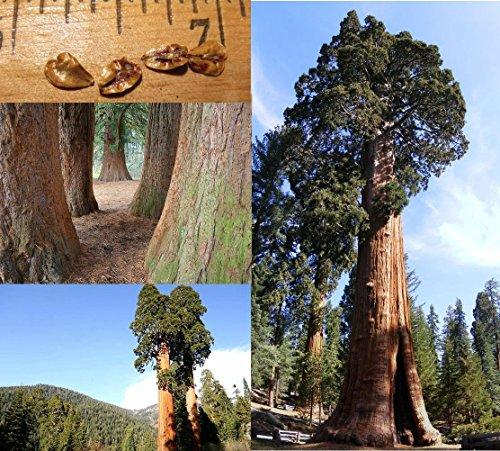 mammutbaum-riesenmammutbaum-25-samen-redwood-winterhart